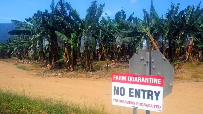 La remota plantación que podría tener la clave para ganar la batalla y salvar las bananas delmundo