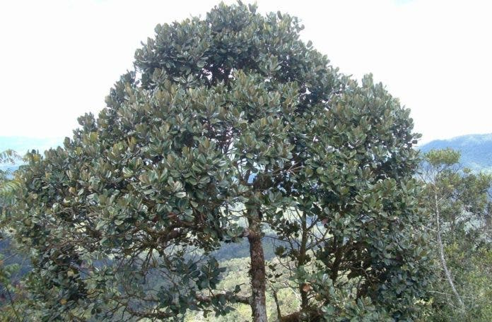 El Ébano Verde es un atractivo del Parque Nacional ValleNuevo